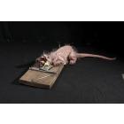 Rat Trap Animated