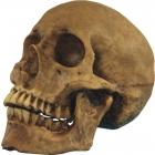 Resin Cranium (1 In Box)